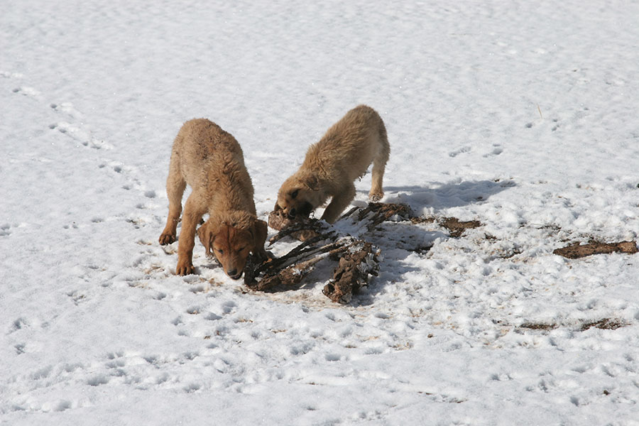 Dogs chewing on human remains after a sky burial in the snow