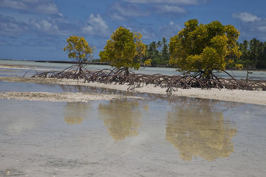 Mangrove bij eb