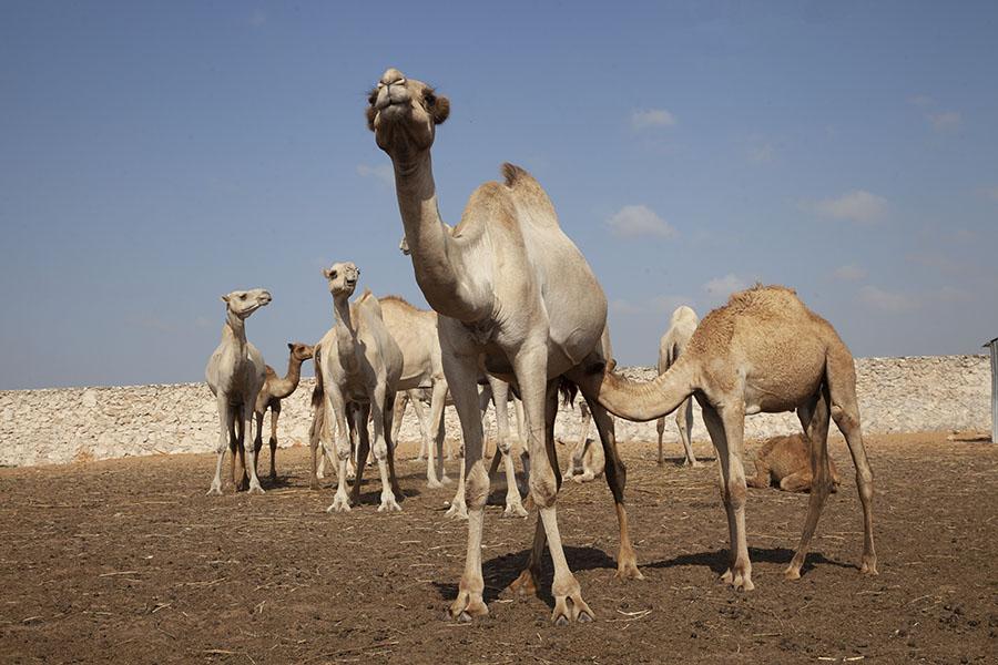 Kamelenmarkt in Mogadishu