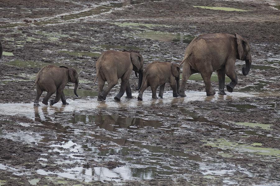 Olifanten lopen over Dzanga Bai