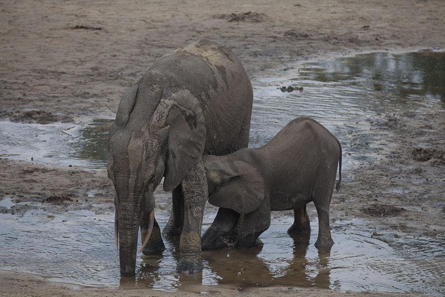 Moeder en kind olifant in Dzanga Bai