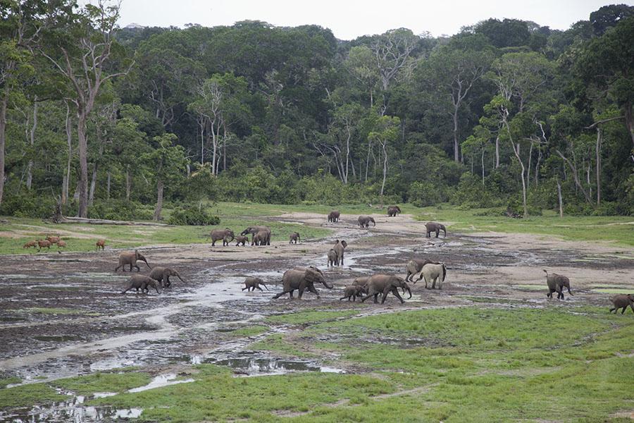 Woudolifanten in Dzanga Bai