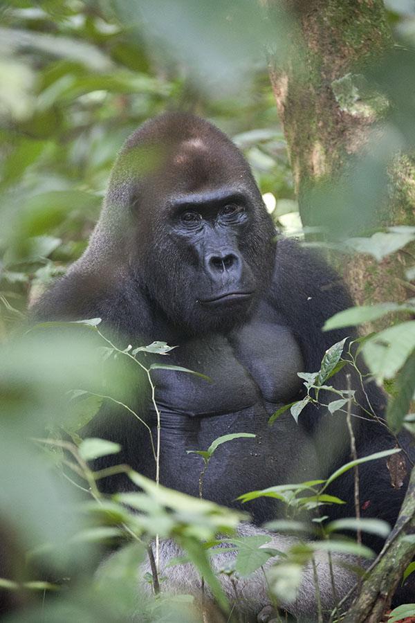 Makumba, de silverback in de jungle van Dzanga-Sangha
