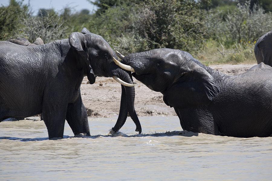 Olifanten in een meertje in Botswana