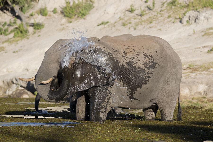 Olifant neemt een douche in de Chobe rivier